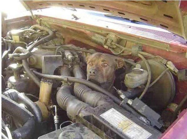Собака залезла под капот