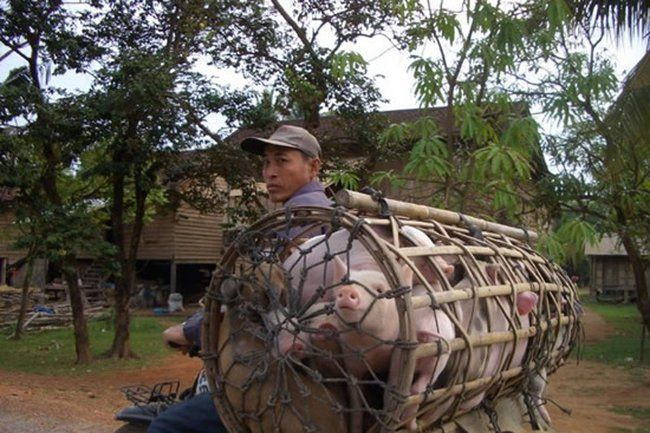 Транспортировка свиней